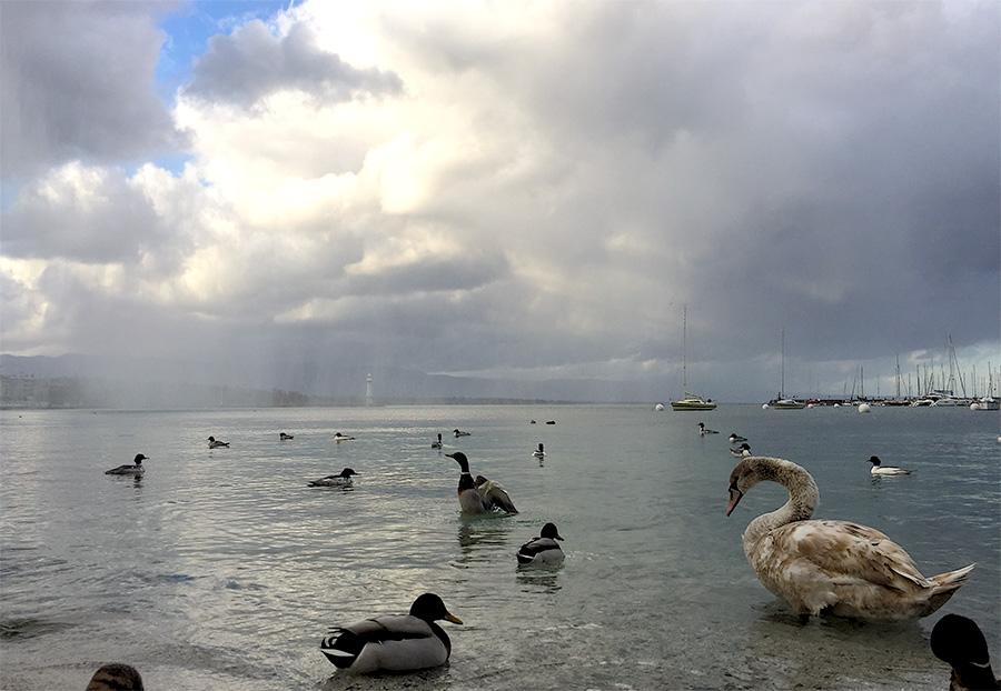 Cygnes et canards au calme dans la rade genevoise